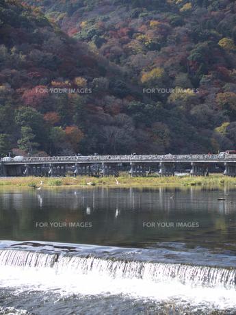 桂川の水面上を飛ぶユリカモメと渡月橋 FYI00473729
