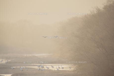 朝もやの中を飛ぶタンチョウのつがい FYI00474427