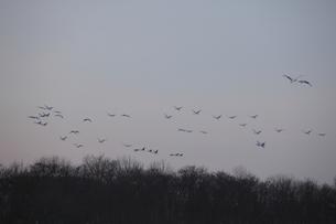 飛ぶタンチョウの群れ FYI00474486