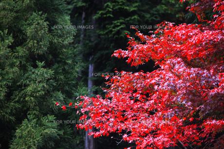 紅葉 FYI00474522