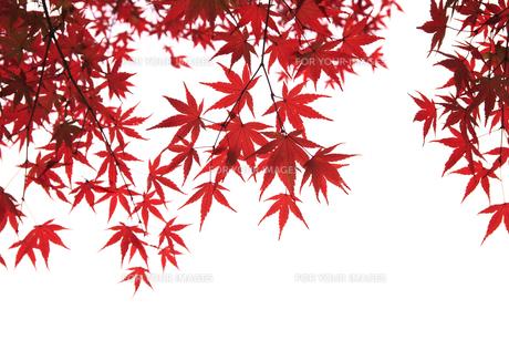 紅葉 FYI00474527