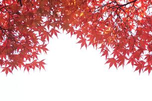 紅葉 FYI00474536