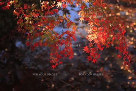 紅葉と水面 FYI00474546