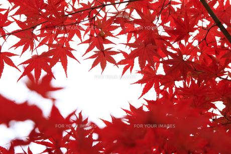 紅葉 FYI00474550