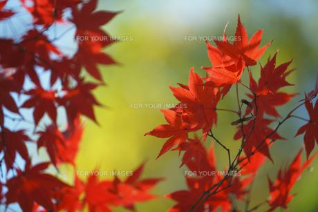 紅葉 FYI00474553