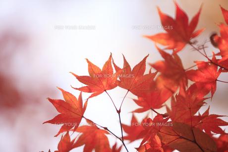 紅葉 FYI00474565