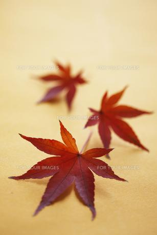紅葉のモミジ FYI00474567