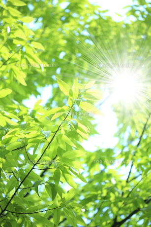 新緑の葉っぱ FYI00474772