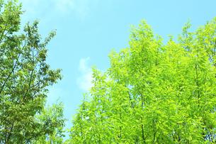 新緑の葉っぱ FYI00474800