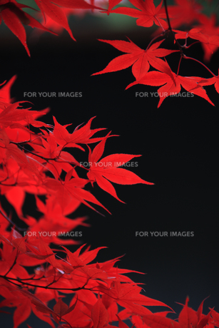 紅葉 FYI00474840