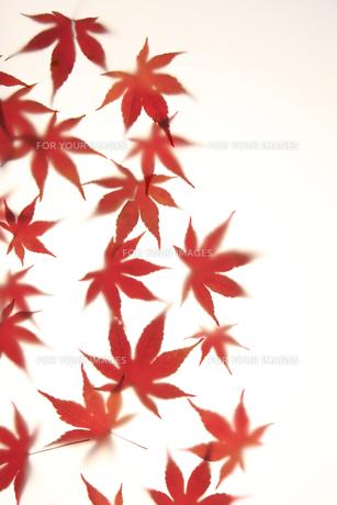 紅葉 FYI00474906