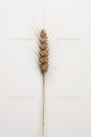 小麦 FYI00475093