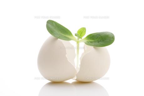卵と二葉 FYI00475195
