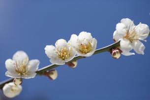 梅の花 FYI00476069