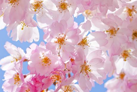 さくらの里の桜アップ FYI00476071