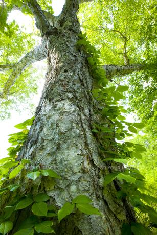 奥利根水源の森のブナ FYI00476088