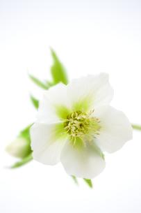 白いクリスマスローズ FYI00476135