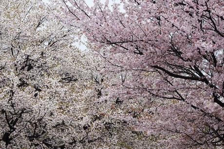 桜 FYI00476958