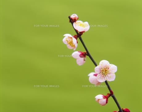 梅の花 FYI00476965