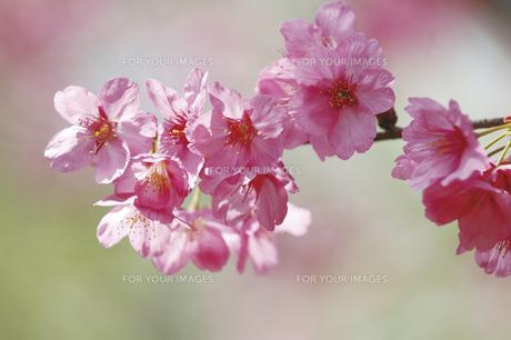 桜 FYI00476986