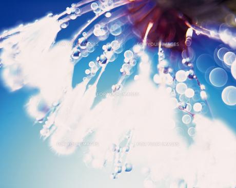 タンポポについた水滴 FYI00477004
