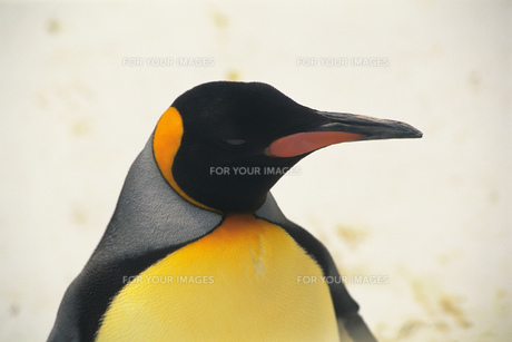 オウサマペンギン FYI00477070