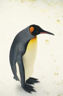 オウサマペンギン FYI00477072