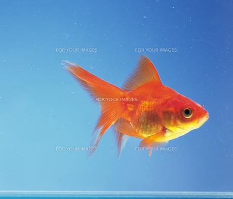 金魚 FYI00477077