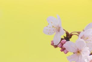 桜の花とつぼみ FYI00480355