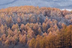 北海道美瑛町・初冬のカラマツ林 FYI00481307