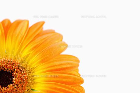 Orange sunflower FYI00488007