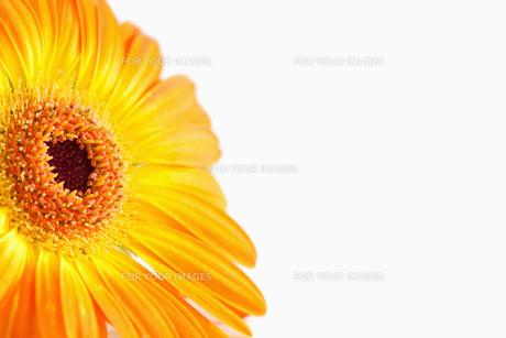 Focus on an orange sunflower FYI00488009