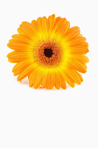 Orange sunflower against white background FYI00488020