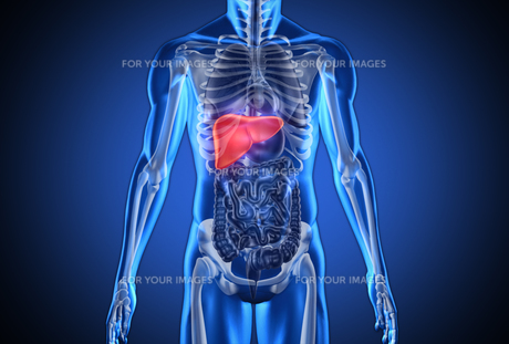 Digital blue human with highlighted liver FYI00488572