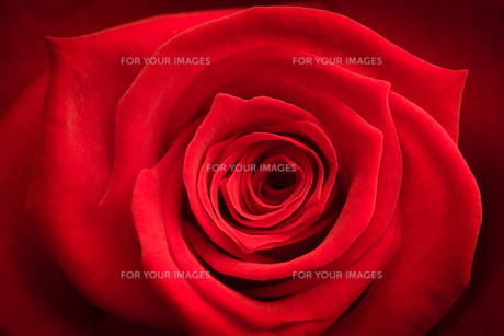 Close up of red rose FYI00488731