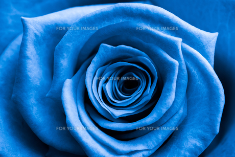 Close up of blue rose FYI00488779