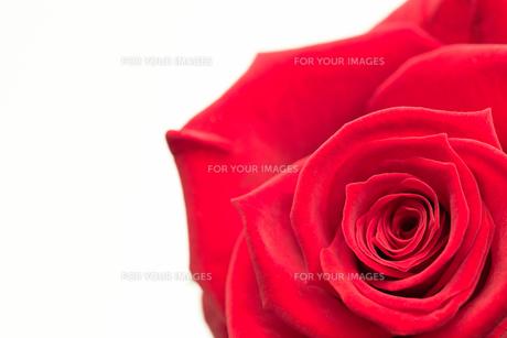 Closeup of pink rose FYI00488798