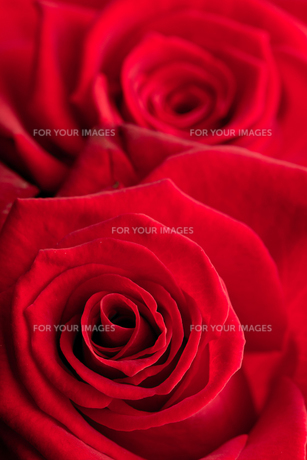 Close up of red roses FYI00488843