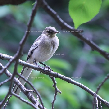 こかげの鳥 FYI00495755