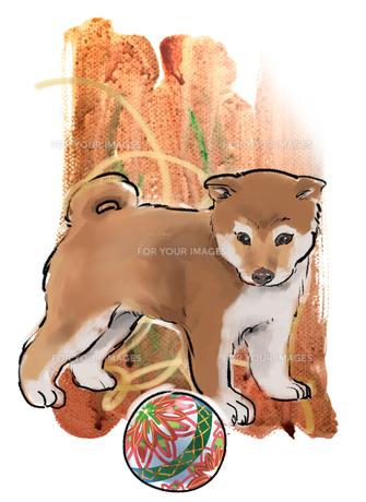 柴犬の小犬 FYI00543483