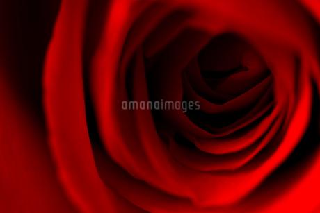 赤い薔薇 FYI00543736