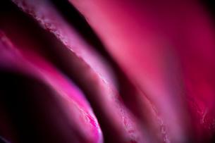 ピンクの薔薇 FYI00543740