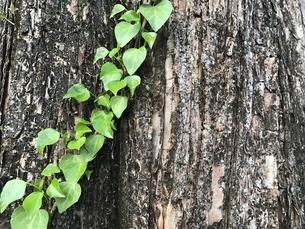 巨木と葉っぱ FYI00545160