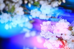 光を着飾った夜桜 FYI00549585
