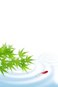 暑中見舞い 金魚 青紅葉 水面 FYI00567069