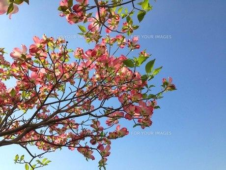 青空に冴えるピンクのハナミズキ FYI00569238