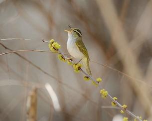鳥の歌 FYI00569453