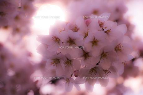 桜(アップ) FYI00572049