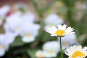 白い花 FYI00576250