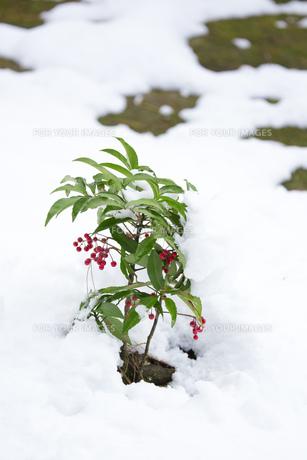 雪に埋もれる万両 Fyi00580627 気軽に使える写真イラスト素材